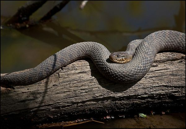 Nwatersnakebytomgill