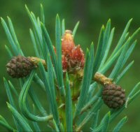 Pine_buds_and_one_year_cones